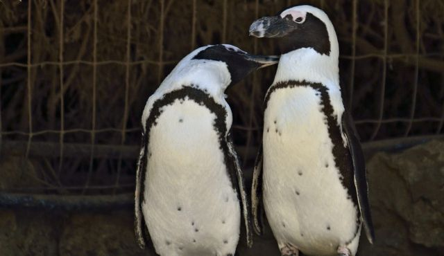 Hey, Ladies!: Suki and Chupchikoni, the Ramat Gan Zoological Center?s lesbian penguin couple.
