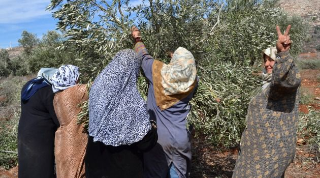 Harvest Time: Workers and volunteers have a short window in autumn to pluck olives from the trees.