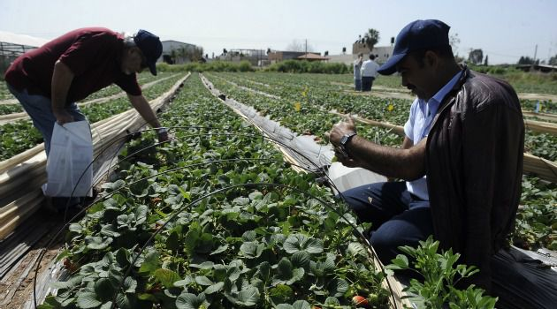 Berry Good: Gaza farmers do lucrative business selling fruits and vegetables for export to Israel and Europe ? when Israel allows them.