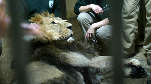 Follow Him: Zoo workers examine Lider, an Asiatic lion, for signs of fertility in 2004. The big cat was later put to sleep, and has now been replaced by one named Gir.