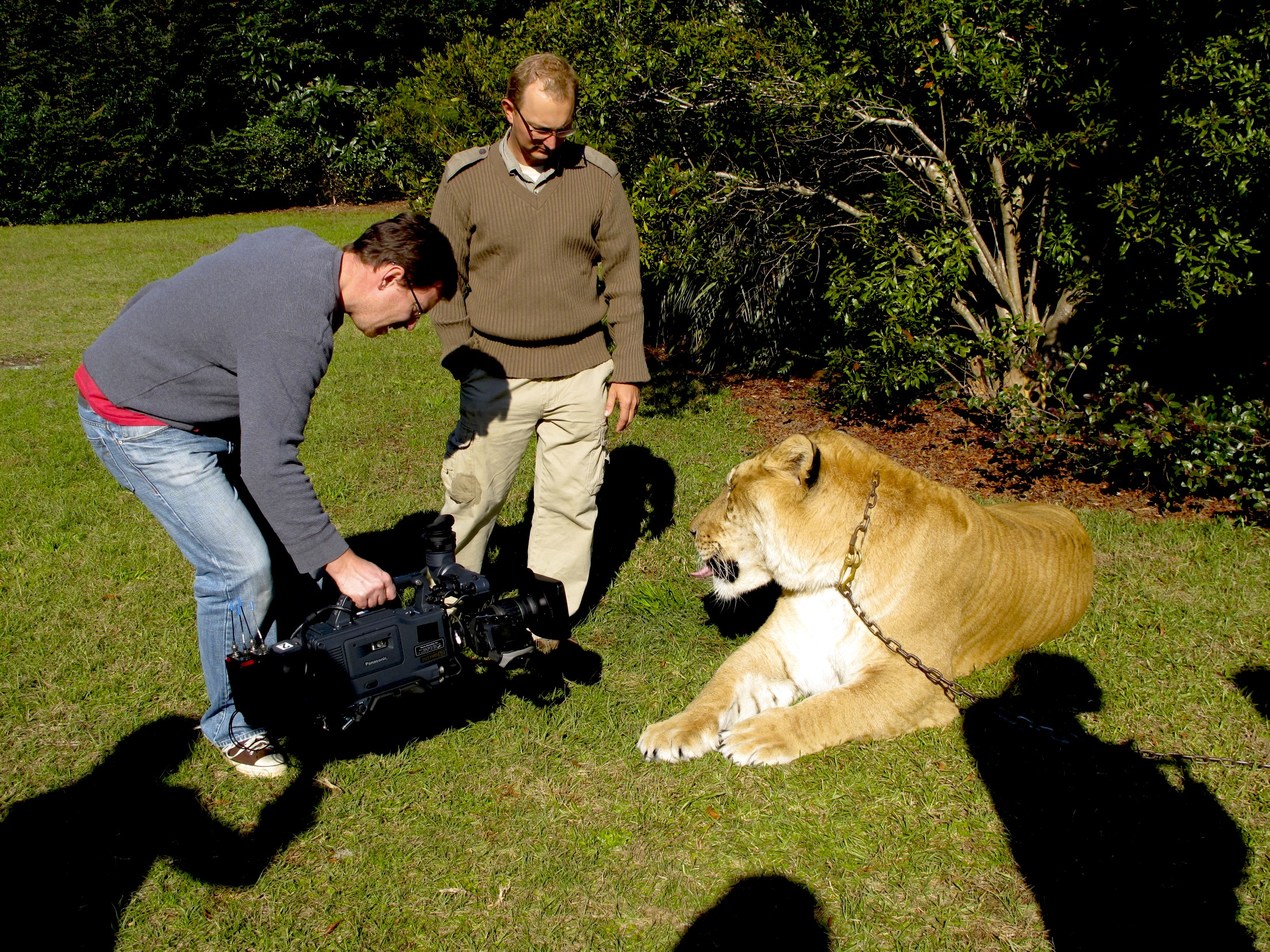Liger close up Raleigh Video Crew and ABCs Nightline, Enter the Eye of the Liger