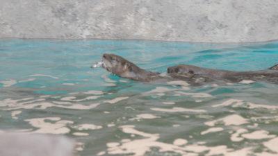 STLaqua 7 400x225 Go To Team St. Louis Crew | Definition 6   STL Aquarium