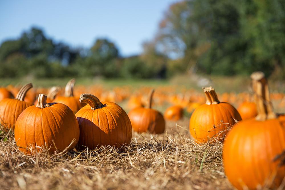 Pumpkin patch, fall, autumn, harvest