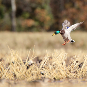 SPONSORED: Fall Tillage Foils Waterfowl Feasts