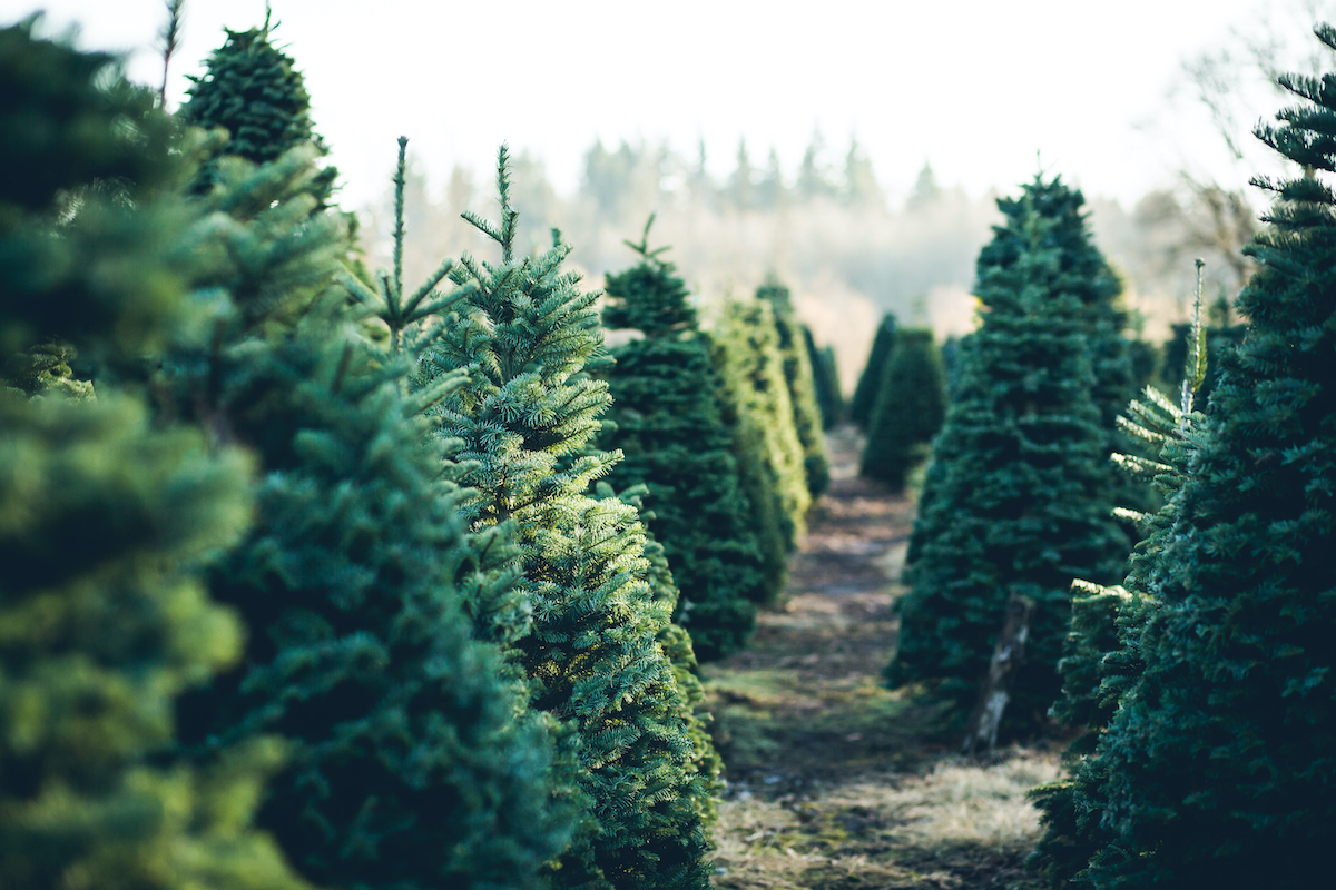 Christmas tree farm (stock photo)