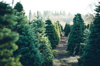 5 Christmas Tree Farms in Central Arkansas