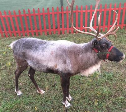 Meet Santa's Reindeer in the River Market