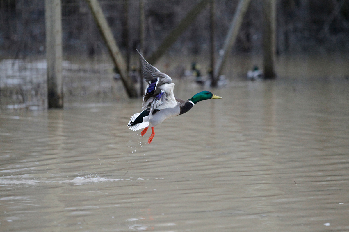 New Focus On Flooding Could Help Duck Habitat