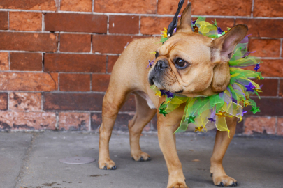 Make Way for Barkus on Main, a Mardi Gras Party for Dog-Lovers