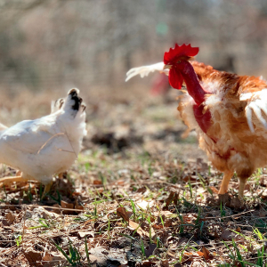 Cooks Venture CEO Reports Its Chicken Operations Are 'COVID Zero'