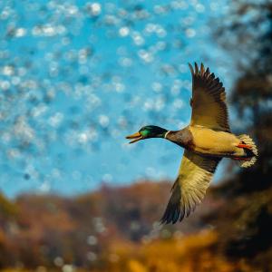Commission Sets the 2019-2020 Arkansas Duck Season Dates