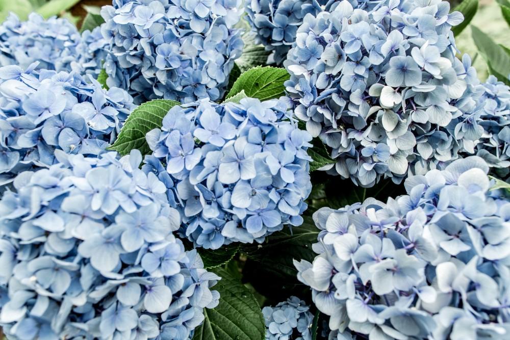 Hydrangeas, flower garden
