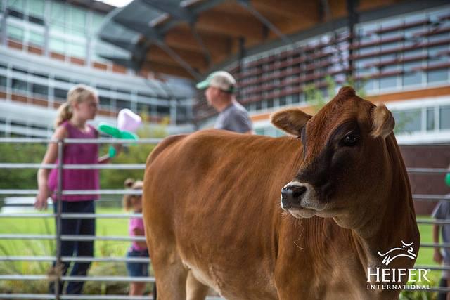 Sunshine Heifer Cow