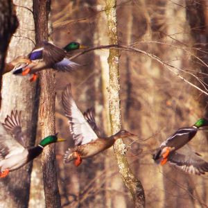 A Weekend of Waterfowling at Greenbriar Hunting Club