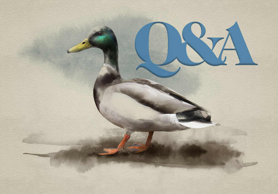 executive qa 127922 duck watercolor