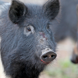 Arkansas' Feral Hogs No Laughing Matter