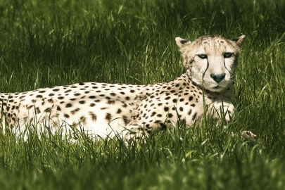 Support Cheetah Conservation at Spotted Event