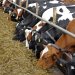 Tyson Foods Joins Cattle Tracing Program