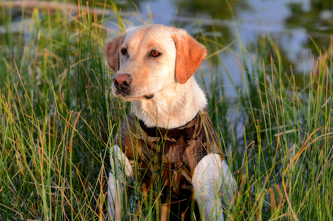 Waterfowling dog shutterstock 225606955