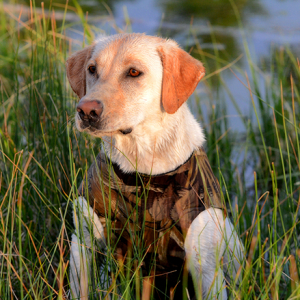 SPONSORED: Does Your Hunting Partner Need Different Nutrition than Other Dogs?