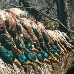 The Stretch Run of the 2020-2021 Arkansas Duck Season
