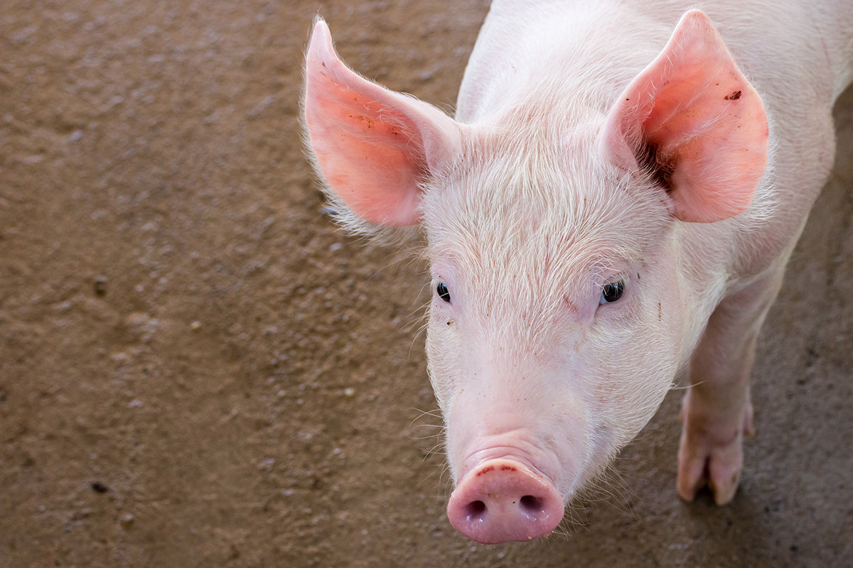 Pig Farmer Accused of Hogging Loan Proceeds