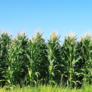 Arkansas Farmers Have More Corn on Their Plate