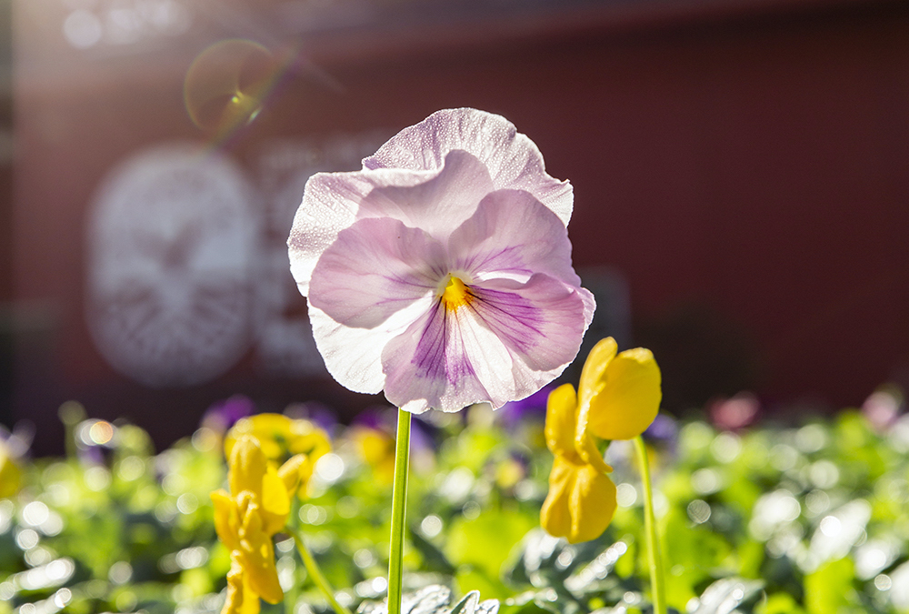 Pink pansy, The Good Earth Garden Center