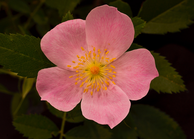 Wild roses dot the landscape of the Ozark National Forest