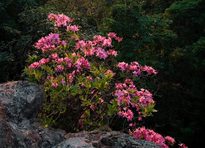 Native azaleas in bloom in the Ozark National Forest.