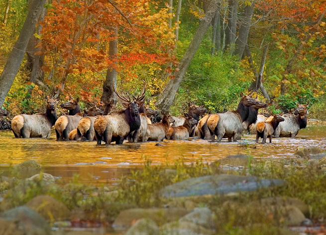 Arkansas Elk