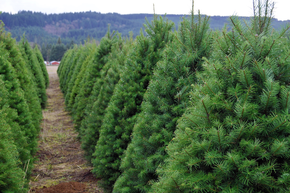 The Metro's Best Places To Find A Christmas Tree
