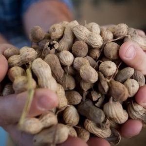 Delta Peanut Plans Shelling Operation in Jonesboro