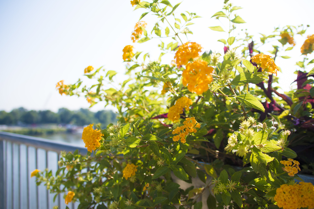 flowers at Clinton Presidential Center Bridge