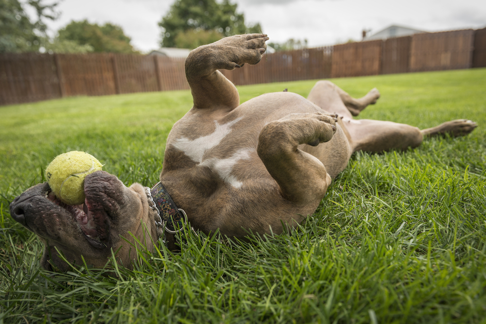 dog playing with tennis ball, American Staffordshire Terrier