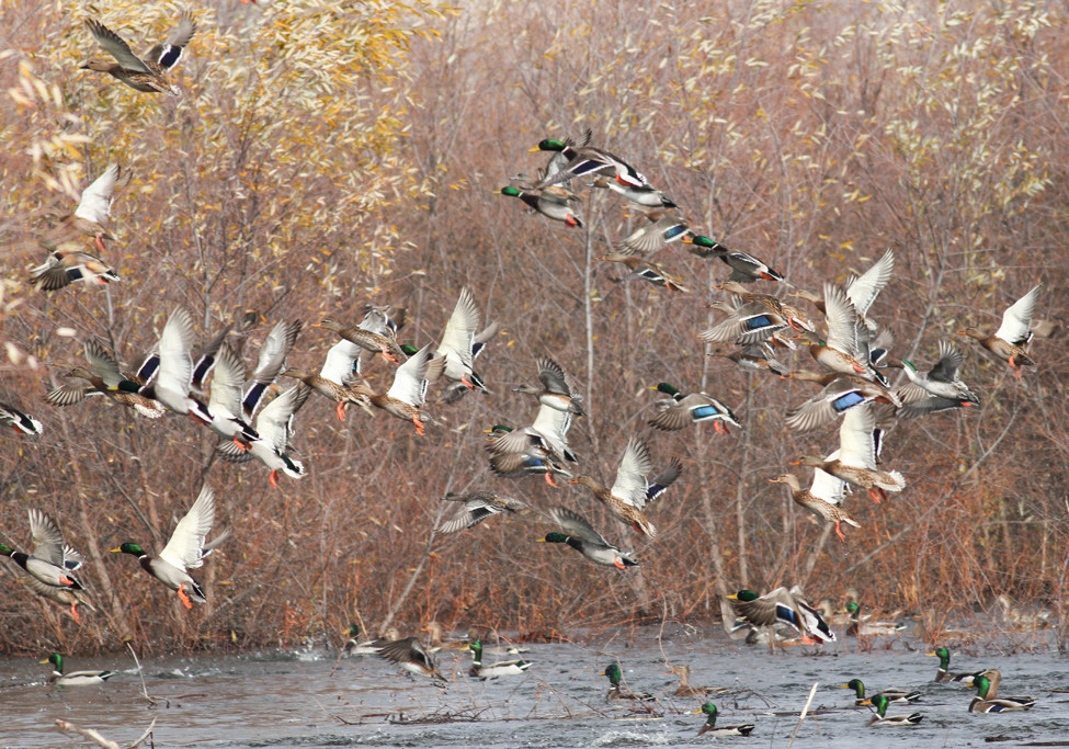What to Expect from Greentree Ducks fly