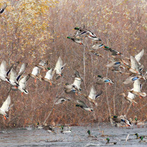 Duck Season Social Scheduled for Dec. 9 in Little Rock