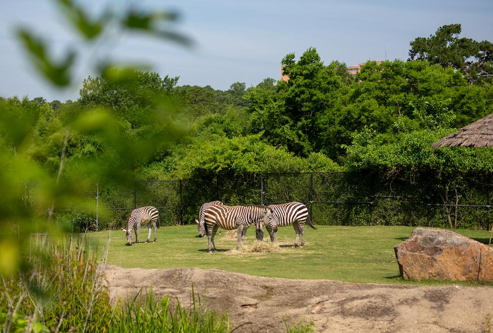 Little Rock Zoo Zebras