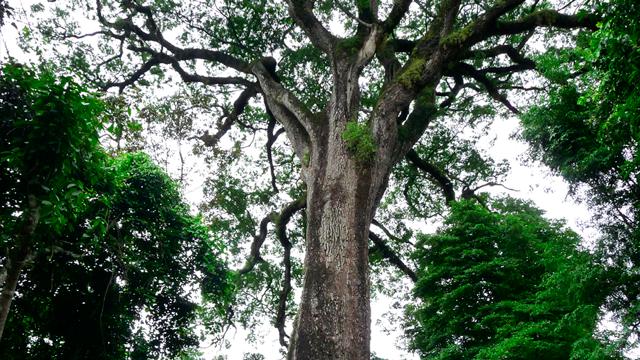 """Patriarca"" a árvore mais antiga do Brasil"