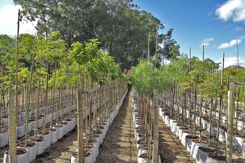 Plantio de espécies arbóreas nativas