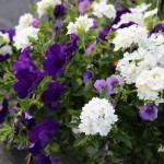 blue-and-purple-sun-basket-150x150