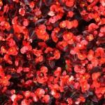 bronze-leaf-red-begonia-150x150