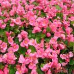 green-leaf-pink-begonias-150x150
