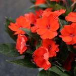 orange-sunpatien-2-150x150