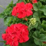 red-geranium-150x150