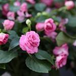rose-double-impatiens-3-150x150