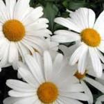 shasta-daisy-150x150