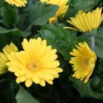 yellow-gerbera-150x150