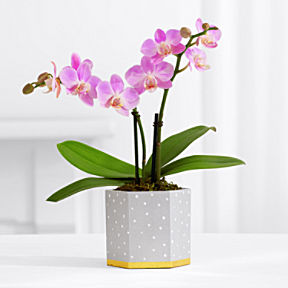Sweetheart Mini Orchid