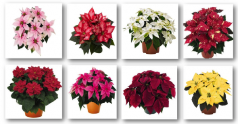 Eight photos of different varietes and colors of poinsettias